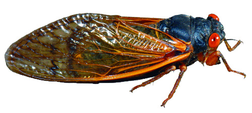 The 17-year cicada, pictured above, emerges in massive numbers once every 17 years. This year one of the larger broods is expected to affect the Hudson Valley. (Photo provided by magicicada.org)